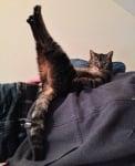 Легнала по гръб котка с вдигнати крака