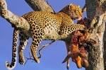 Леопард се храни на дърво