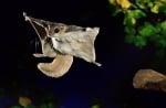 Летяща катеричка по време на полет