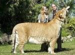 Лигър - кръстоска между лъв и тигър