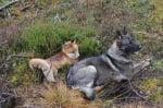 Лисица и куче лежат заедно
