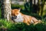 Лисица спи