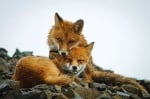 Колко трае любовта между лисиците?