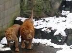 Лъв и лъвица в зоопарк