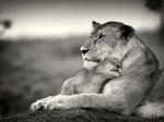 Лъвче се гушка в лъвица