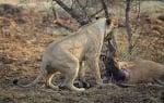 Лъвица и бременна антилопа