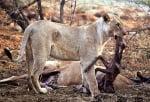 Лъвица не изяжда кошута, защото е бременна