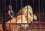 Лъвове в цирка