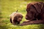 Майчински инстинкт куче