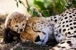 Майка гепард с малкото си