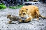 Майка тигър се грижи за малкото си