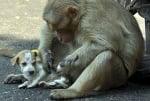 Маймуна с кученце, осиновяване