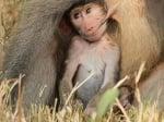 Маймунче суче