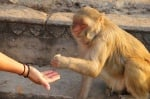 Маймунка раздава пари на хората в Индия, счита банкнотите за непотребни