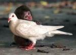 Маймунка прегръща бял гълъб