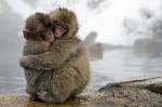 Маймунки, които се прегръщат