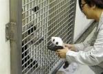 Малка пандичка пред майка си