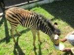 Малка зебра пие мляко
