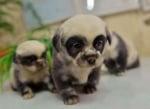 Малки кученца, които приличат на мечета панди