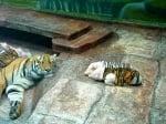 Малки прасенца при тигрица