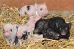 Малки прасенца