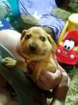 Малко кученце с отекла муцунка след ужилване на насекомо
