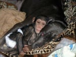 Малко шимпанзе се гушка в приемната си майка, куче