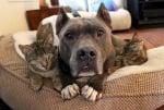 Малтретирани питбули сега се грижат с любов за 3 слепи котенца