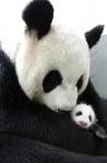 Мама панда с бебе панда