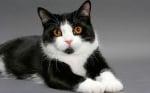 Котка манкс