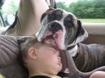 Мастиф и бебе в колата