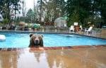 Мечката гризли Брут в басейн