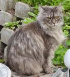 Мейн Куун (Мейнска котка)