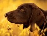 Миокардоза при кучето