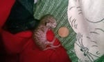 Млада двойка не се отказва да спаси 40-грамово котенце, въпреки мненията, че няма да оцелее