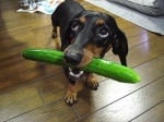 Може ли кучето да яде краставица