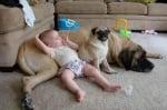 Мопс и голямо куче с бебе