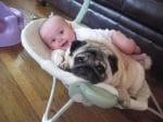 Мопс с бебе