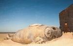 Морж на брега