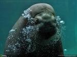 Морж под водата