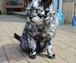 Мраморна котка