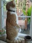 Наблюдаващо коте