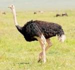 Най - тежката птица в света