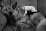 Немска овчарка с бебе