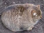Огромна котка, която прилича на топка