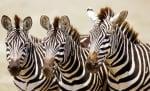 Окраската на зебрата уникална за всеки индивид