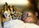 Орангутан гледа тигърче