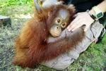 Орангутанче сирак