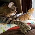 Оранжева игуана с котка