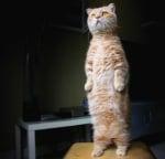 Оранжева котка стои изправена